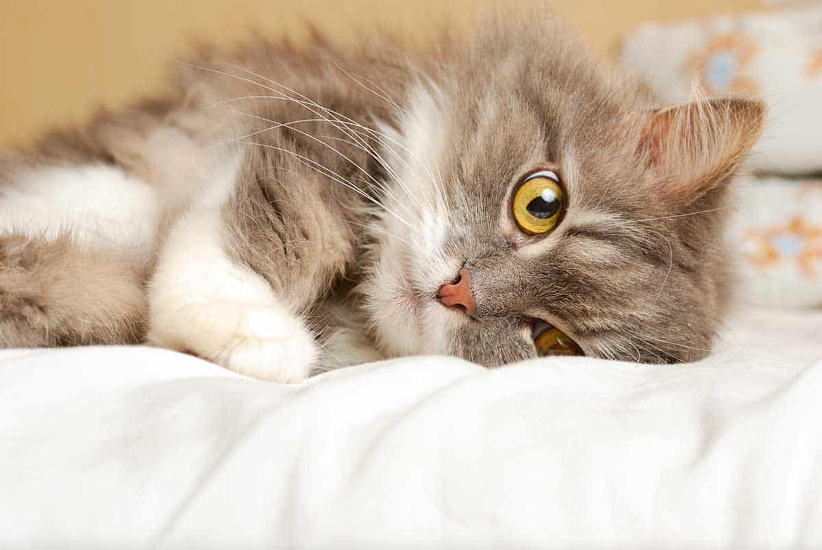 What's The Best Litter Box for Senior Cats? - Litter-Boxes com
