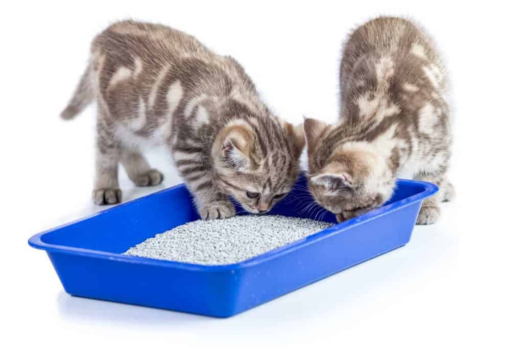 Two cat kittens in toilet tray box with litter