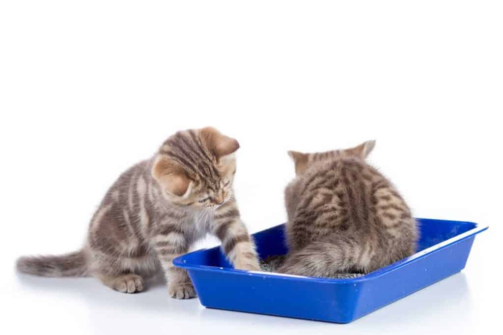 Two cute kittens sharing a litter box with one kitten scratching the side of the blue litter box