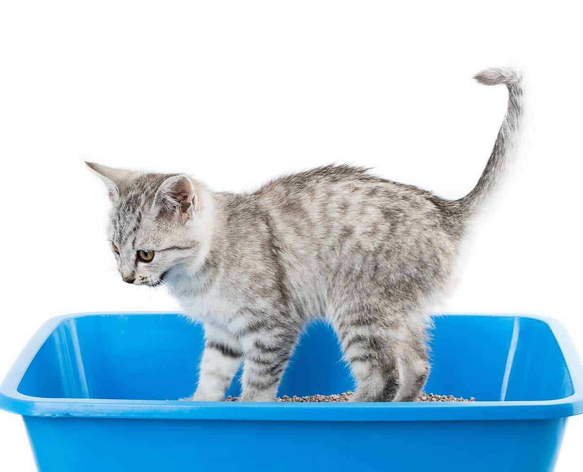 Why Does My Cat Meow When Going to the Litter Box? - Litter