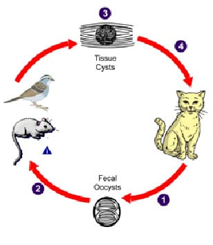 Typical life cycle of toxoplasma