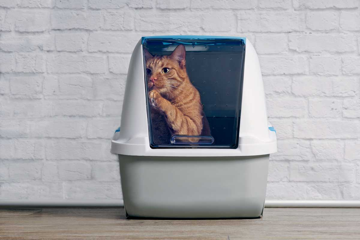 Cute ginger cat step outside a closed litter box. Do Cats Eat Litter? [And How to Prevent Them from Doing So]