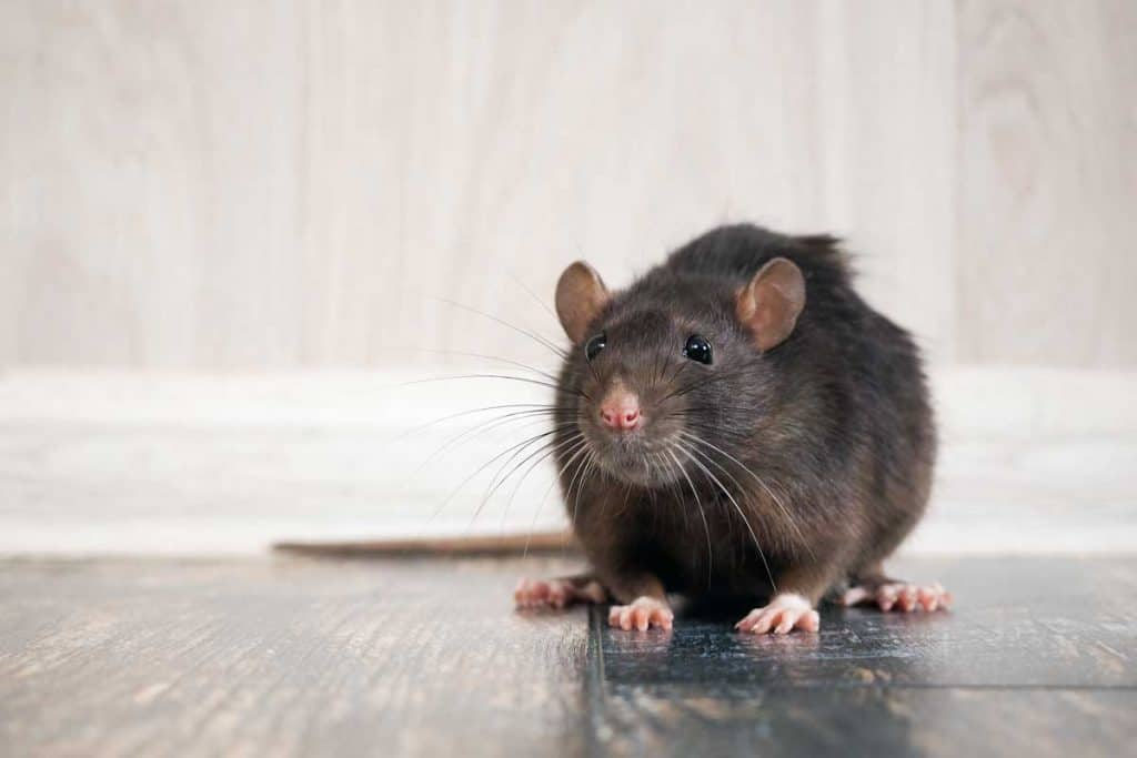 Rat on floor sniffing around for food