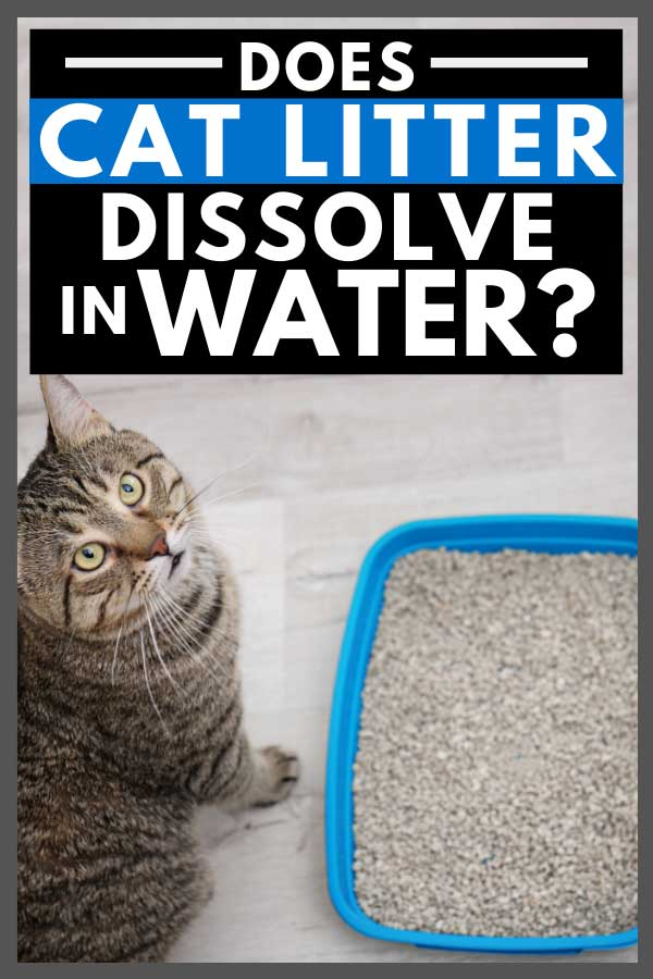 Adorable cat near litter tray indoors, Does Cat Litter Dissolve in Water?