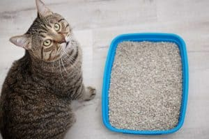 Adorable cat near litter tray inside the house, Does Cat Litter Dissolve in Water?