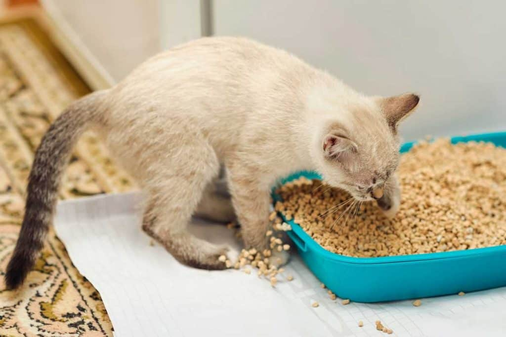 Cat covering poop using sand inside litter box