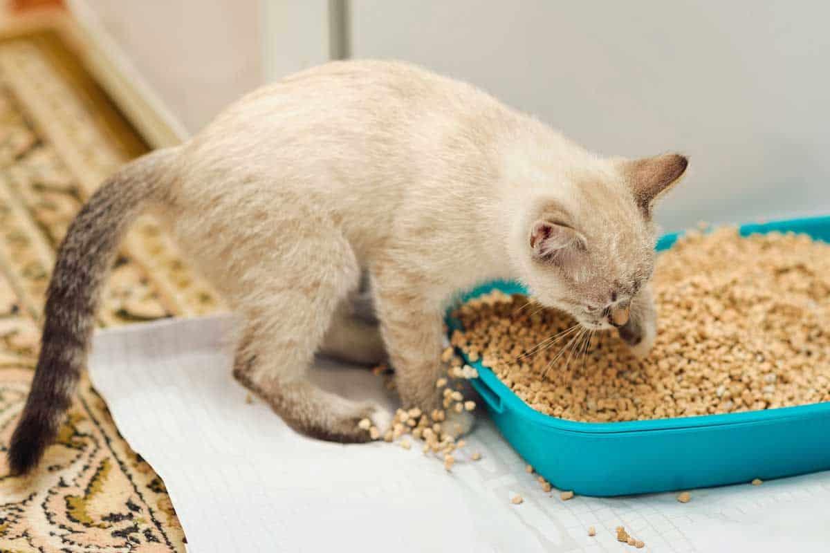 Cat covering poop using sand inside litter box