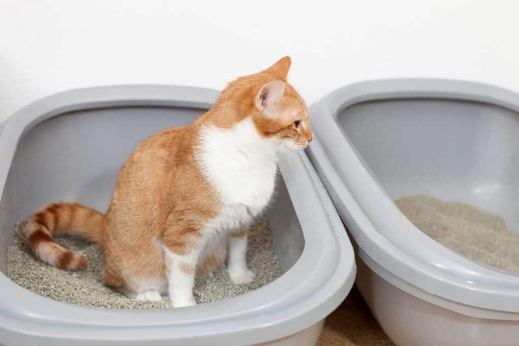 Cat sitting on litter box waiting to poop