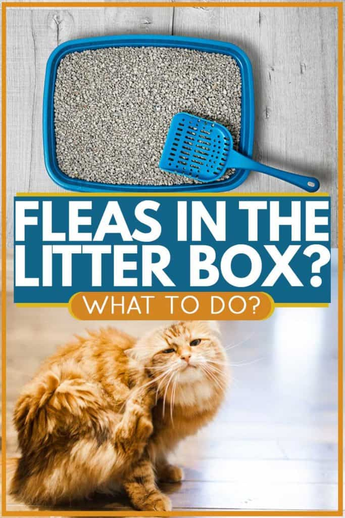 Cat scratching head due to fleas in the litter box, Fleas in the Litter Box - What to Do?