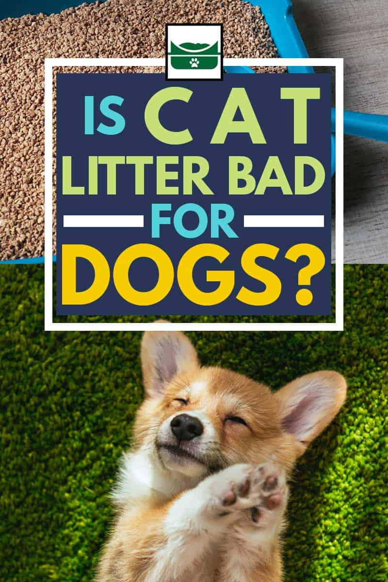 a collage of adorable welsh corgi pembroke on green lawn at home and a cat litter, Is Cat Litter Bad for Dogs?