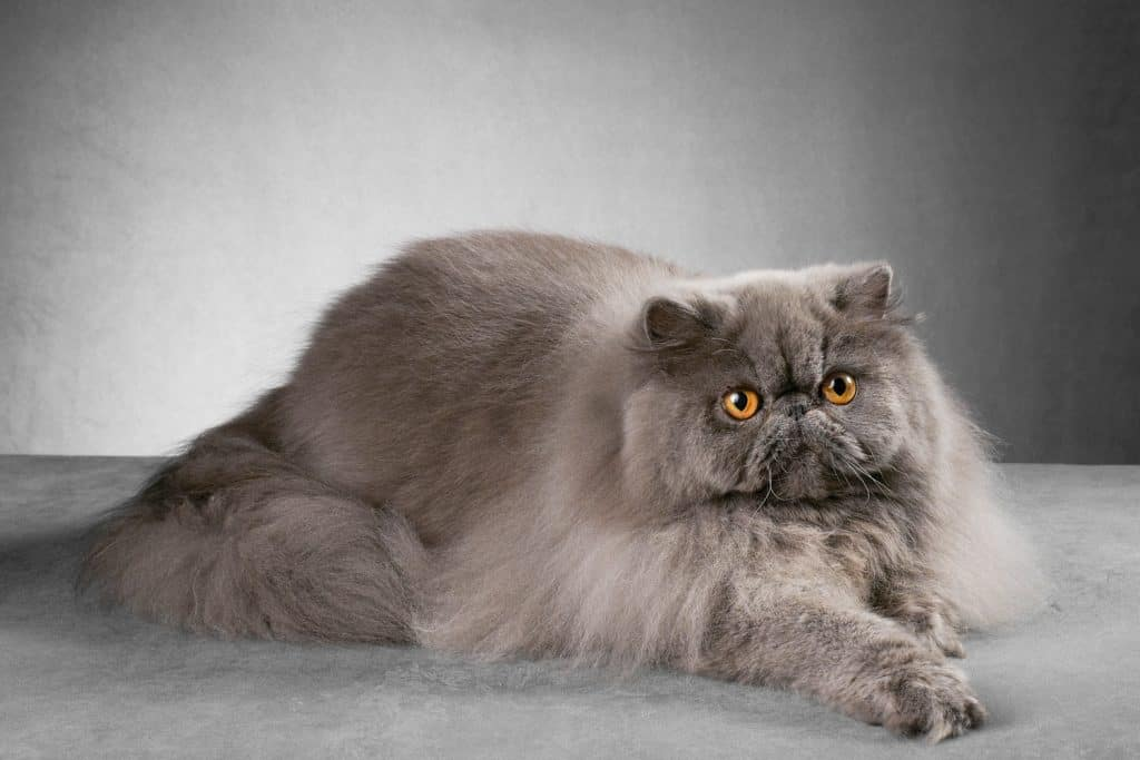 A fluffy gray Persian cat lying on the table