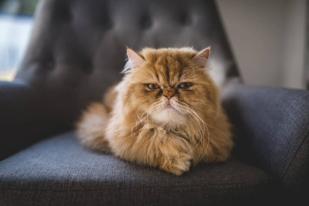 A gorgeous Persian cat sitting in the couch staring angrily on the camera