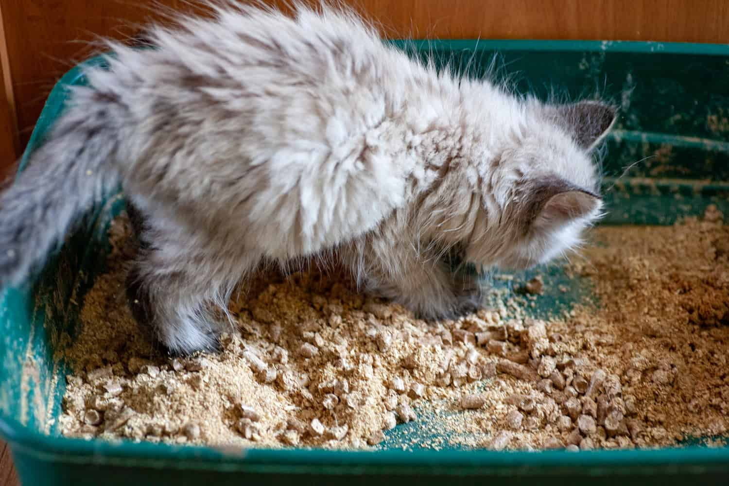 An overweight constipated cat sitting on the litter box trying to poop