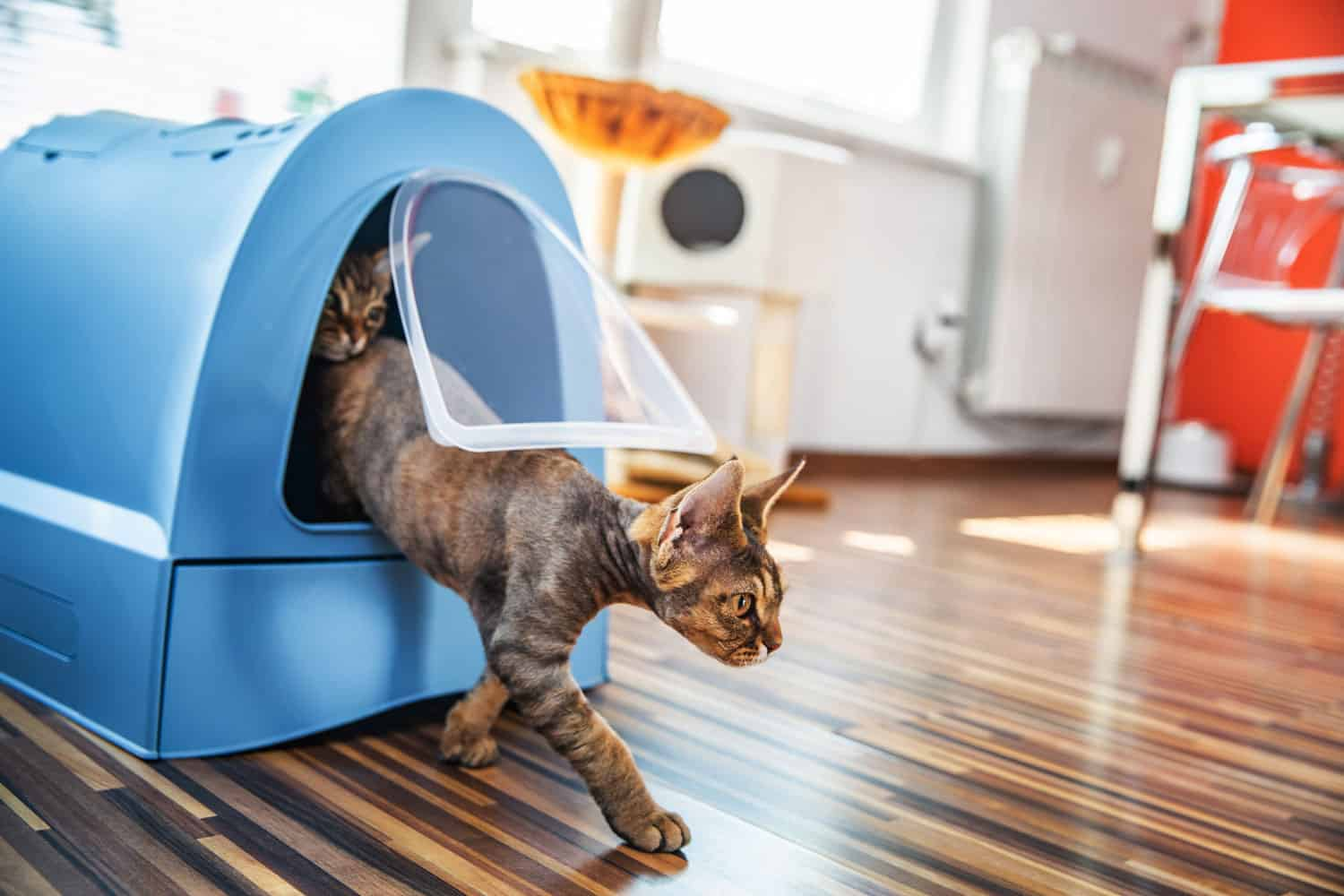 Domestic Cat Stepping Out of Closed Litter Box in Living Room