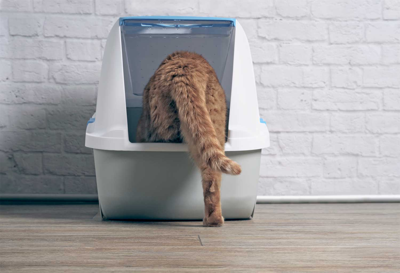 Orange tabby cat step inside a litter box