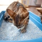 Why Do Some Cats Eat Litter? [And How To Stop It]
