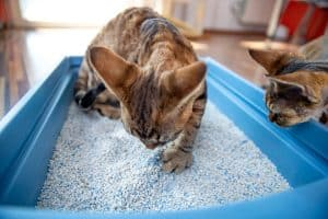 Read more about the article Why Do Some Cats Eat Litter? [And How To Stop It]