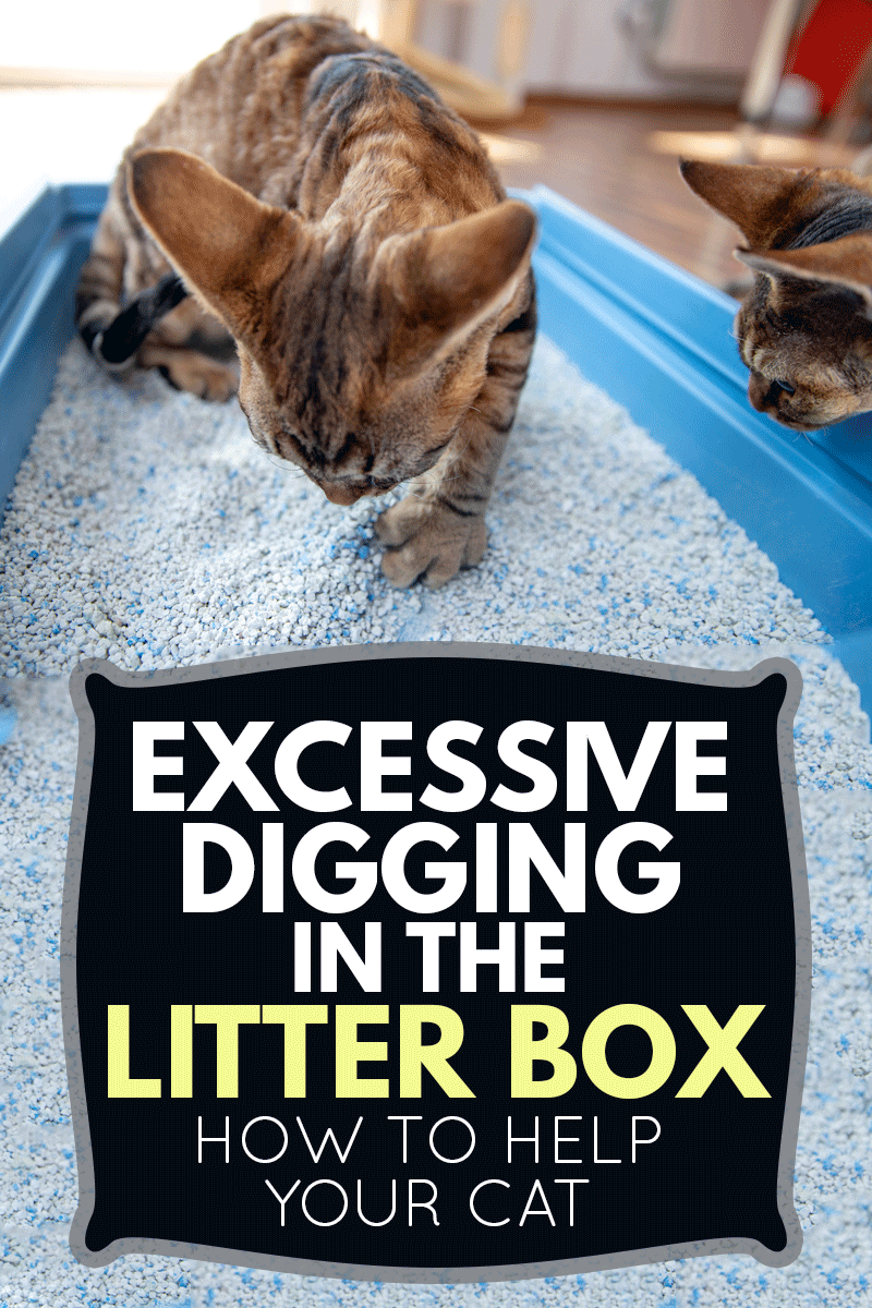 Excessive Digging in the Litter Box - How To Help Your Cat, Devon Rex Kitten Digging Sand in Litter Box While Being Watched by Curios Brother, Excessive Digging in the Litter Box - How To Help Your Cat