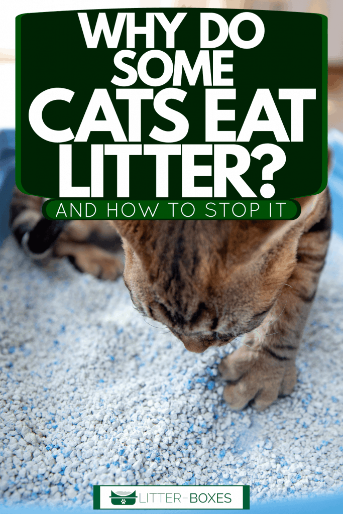 A cat covering his poop with cat litter, Why Do Some Cats Eat Litter? [And How To Stop It]