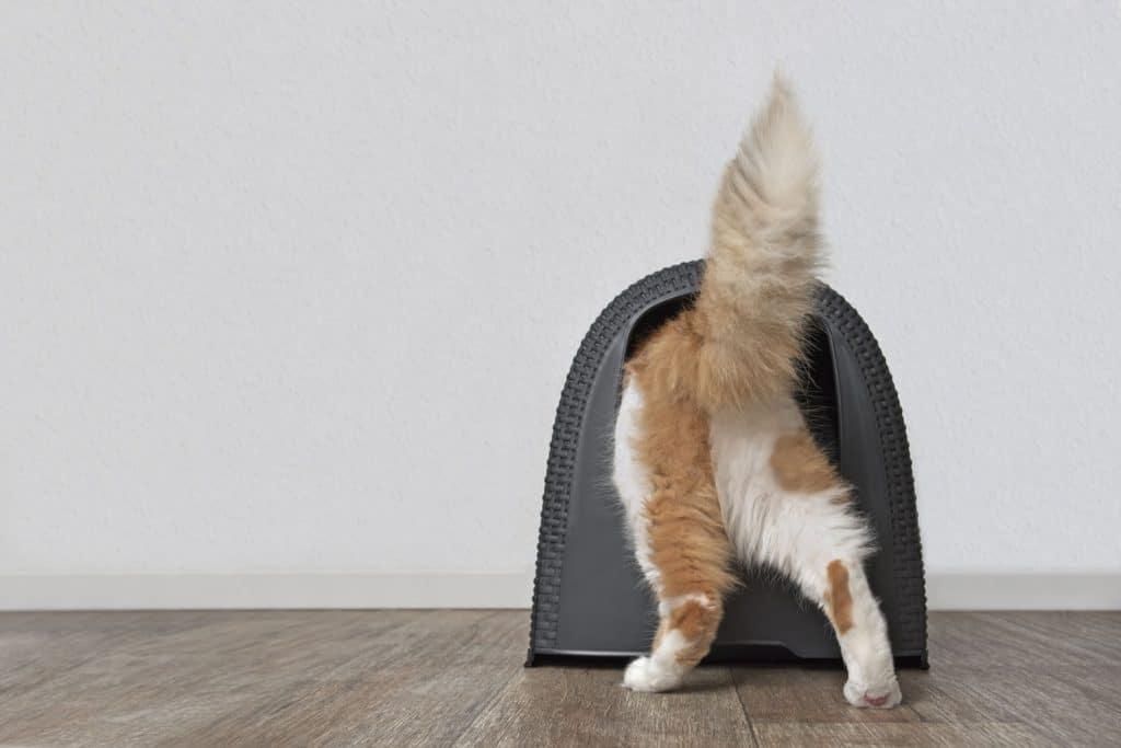 A cute cat walking inside his black litter box