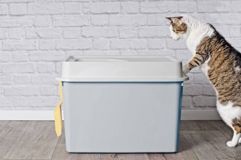 A domestic cat standing up and looking inside his litter box